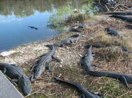 Alligators on shore