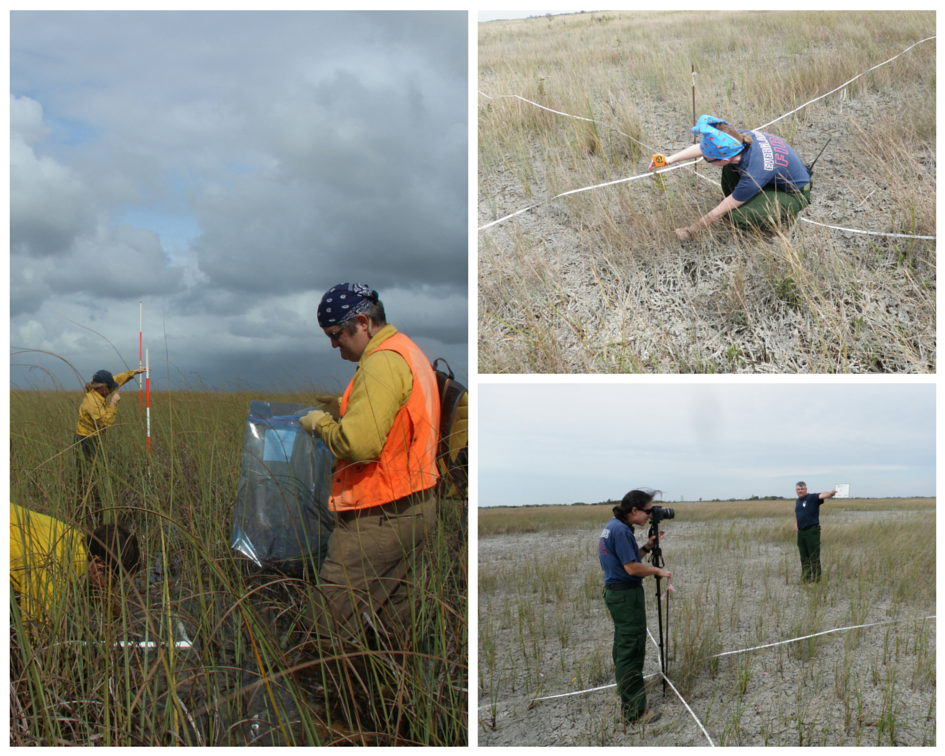 Everglades Fire and Missoula Fire Lab staff collecting biomass samples in East Everglades 5 prescribed fire unit.