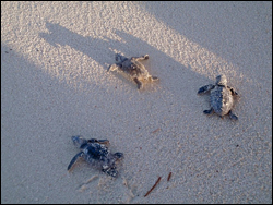 Three sea turtle hatchlings making their way to the sea