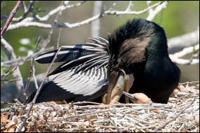 Adult male anhinga feeding chicks