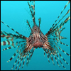 Lion Fish Image Courtesy of WikiMedia