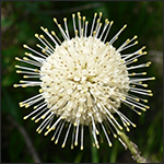 Buttonbush in bloom