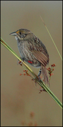 Photograph of Cape Sable Seaside Sparrow perched on sawgrass