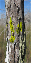 Chrysothrix candelaris, a species of crustose lichen, growing on a cypress tree.