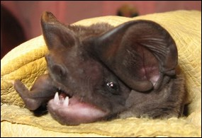 Face of Florida bonneted bat