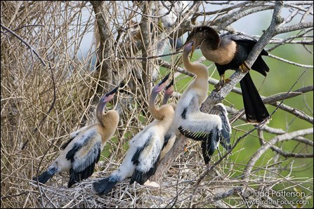 Female anhinga feeding her chicks