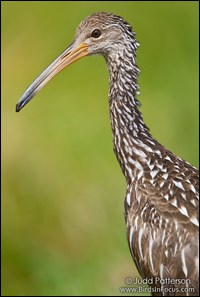 Head and shoulders of a limpkin