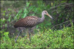 Limpkin walking through vegetation