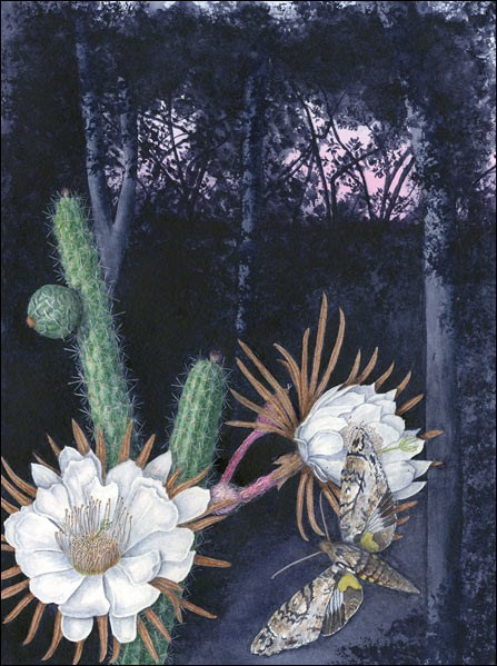 Night-blooming endangered Simpson's apple cactus