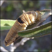 Florida leafwing caterpillar