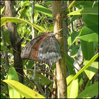 Adult Florida leafwing butterfly