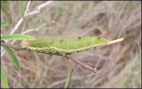 Florida leafwing larva with parasites