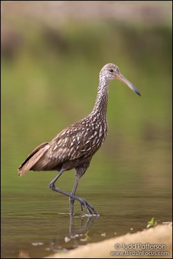 "Limpkin ""high-stepping"" through shallow water"