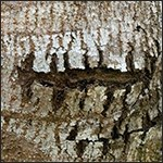 Bark of a manchineel tree