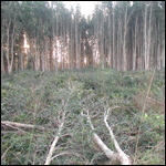 Partially cleared melaleuca stand