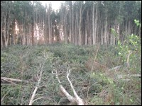 Partially cut and cleared melaleuca stand