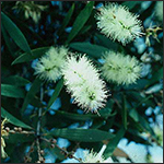 Close-up view of a melaleuca tree in flower