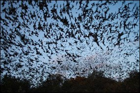 Mexican free-tailed bats exiting Bracken Bat Cave in Texas