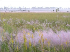 Muhly grass in bloom.