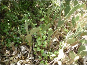 Prickly-pear cactus growing on Gopher Key