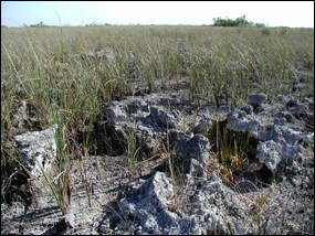 Grasses growing on limestone bedrock in the East Everglades