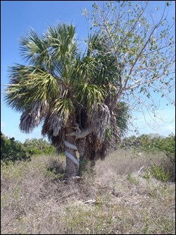 Sabal palmetto, commonly known as cabbage palm
