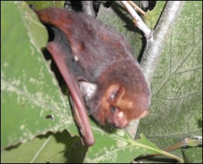 Male Seminole bat