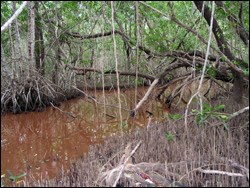 Mangrove peat forming in Snake Bight
