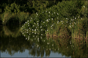 Snowy egrets roosting at Eco Pond