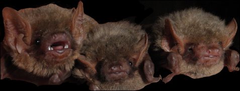 Three little bat faces