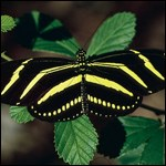 Zebra Heliconian or Longwing