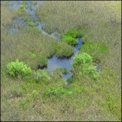 Shallow pool of water made by an alligator wallowing around in the wetlands.