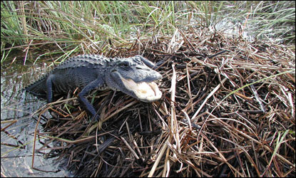 Female alligator on top of her nest