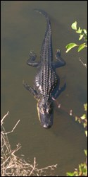 Photograph of American alligator swimming in water