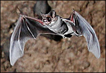 Brazilian free-tailed bat