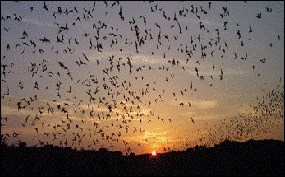 Bats emerging at dusk to feed