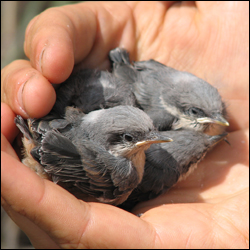 Brown Nuthatch nestlings