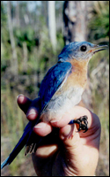 Photograph of Eastern Bluebird