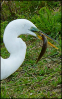Great Egret Eating a Catfish
