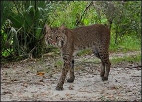 Bobcat photographed in Big Cypress National Preserve