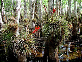 Bromeliads, popularly known as air plants, growing on cypress trees.