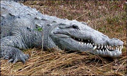American Crocodile Species Profile Everglades National Park U S