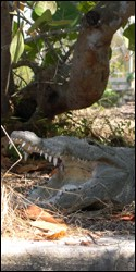 Photograph of crocodile with mouth wide open showing very sharp teeth!