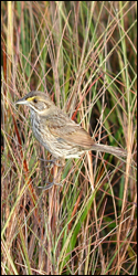Photograph of Cape Sable Seaside Sparrow