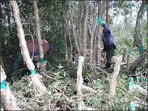 Crews removing exotic vegetation in the Everglades