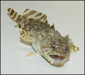 Gulf toadfish