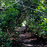 Trail through hardwood hammock
