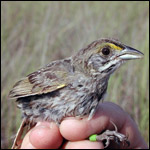 Cape Sable Seaside Sparrow