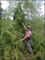 Old World climbing fern with a human for scale