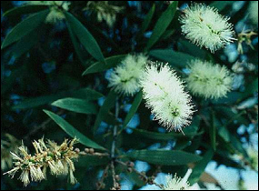 Flowering melaleuca